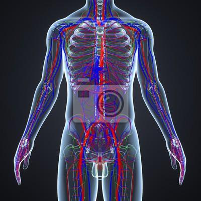 Kreislaufsystem mit lymphknoten wandposter • poster medicals ...
