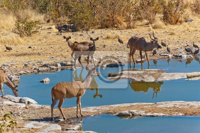 Kudu Antilopen. African Wildlife Reserve, Etosha, Namibia