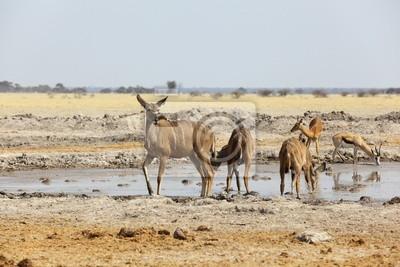 Kudu ist am Wasserloch in Nxai Pan NP