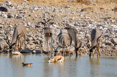Kudu Kühe und Kälber