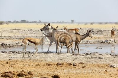 Kudu und Springbock am Wasserloch