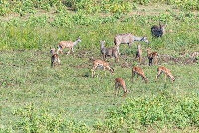 Kudus, impalas and waterbuck