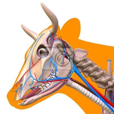Kuh-kopf-anatomie wandposter • poster Fortpflanzungs-, Bossy ...