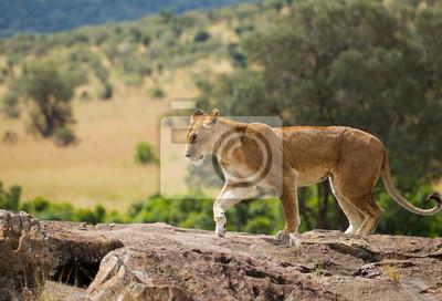 L lioness auf afrikanischer savanne