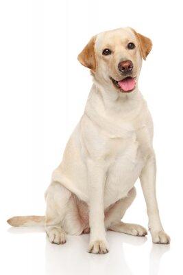 Poster Labrador retriever Hund
