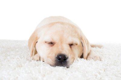 Poster Labrador Welpen schlafen auf einem flauschigen Teppich