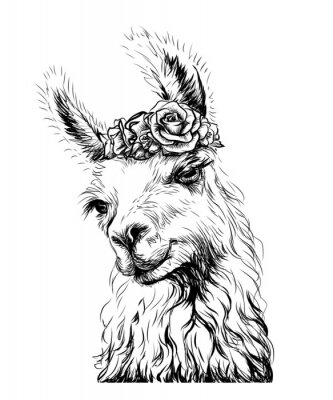 Poster Lama/Alpaca. Sticker on the wall in the form of an outline, hand-drawn artistic portrait of a lama on a white background.