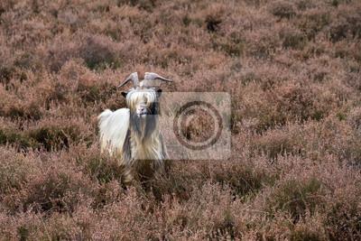 Landrasse Ziege auf dem Moor in den Niederlanden