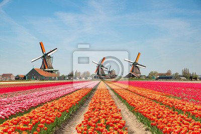 Poster Landscape of Netherlands bouquet of tulips and windmills in the Netherlands.