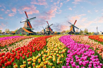 Poster Landschaft mit Tulpen in Zaanse Schans, Niederlande, Europa