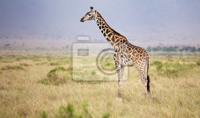 Large adult giraffe