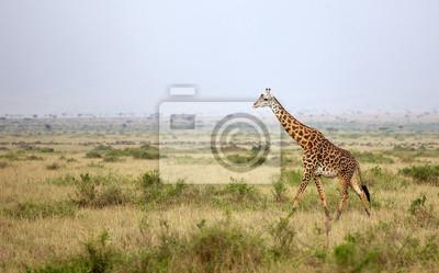Large adult giraffe walking
