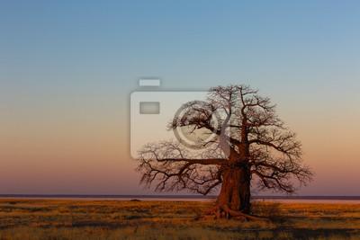 Large baobab tree after sunset