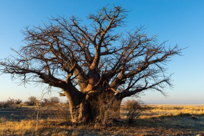 Large baobab tree in early morning light on Kukonje Island