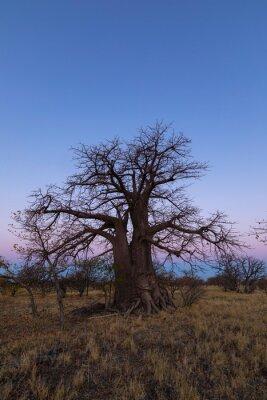 Large lone baobab tree after sunset on Kukonje Island