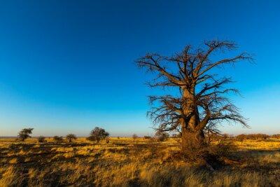 Large lone baobab tree against blue sky