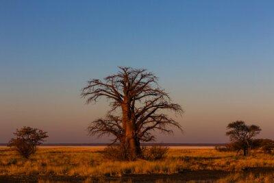Late afternoon light on baobab tree on Kukonje Island