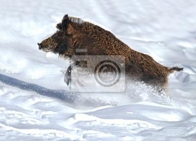 laufenden Wildschwein