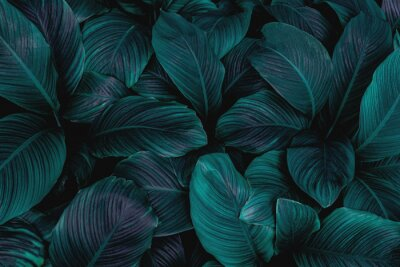 Poster leaves of Spathiphyllum cannifolium, abstract green texture, nature background, tropical leaf