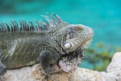 Poster Leguan bei Playa Lagun, Curaçao