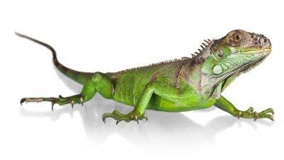 Poster Leguan, Eidechse, Reptil.
