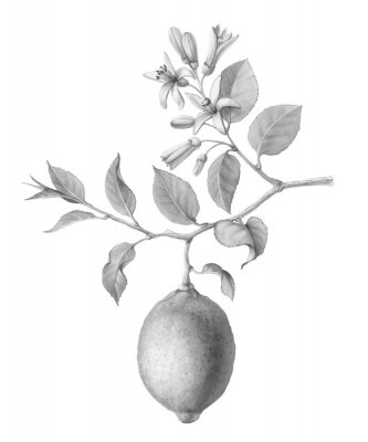 Poster Lemon Tree Fruit and Flowers Hand-drawn Pencil Illustration Isolated on White