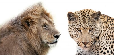 Poster Leone e Leopardo insieme