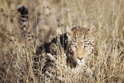 Leopard, der durch das bushveld bewegt