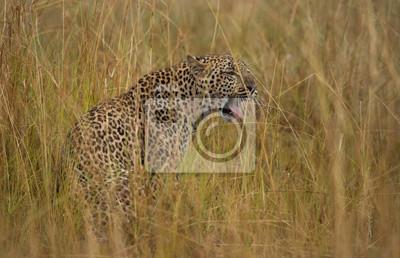 Leopard in der Masai Mara Nationalpark Kenia