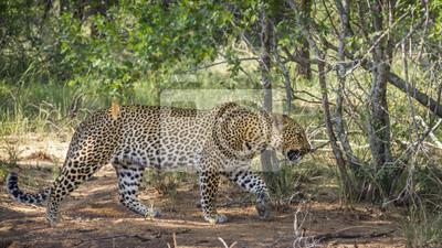 Leopard in Nationalpark Kruger, Südafrika