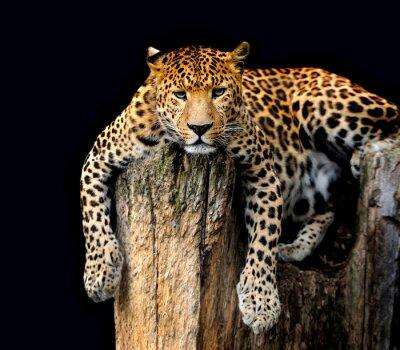 Poster Leopard Isoliert auf schwarzem Hintergrund