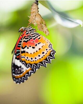 Poster Leopard lacewing Schmetterling kommen aus Puppe
