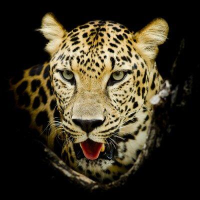 Poster Leopard-Porträt,