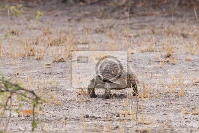 Leopard-Schildkröte