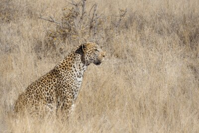 Leopard seated in grass in Kruger National park, South Africa ; Specie Panthera pardus family of Felidae