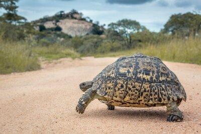 Leopard tortoise Crossing safari gravel road in Kruger National park, South Africa ; Specie Stigmochelys pardalis family of Testudinidae