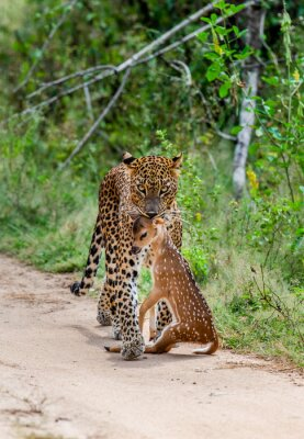 Leopard with prey is on the road. Very rare shot. Sri Lanka. Yala National Park
