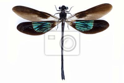 Libelle mit grünen und braunen Flügeln