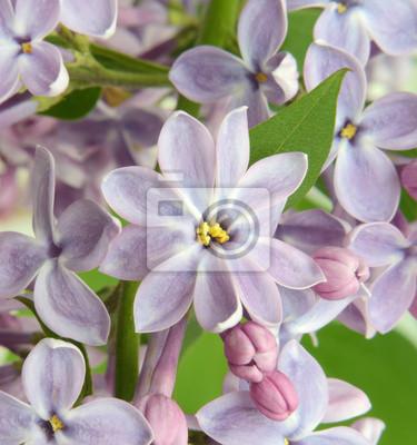 Lila Blume close up in Pastellfarben