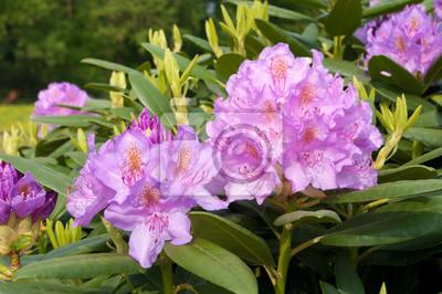 lila Rhododendron-Blüten