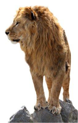 Poster Lion auf einem Steine