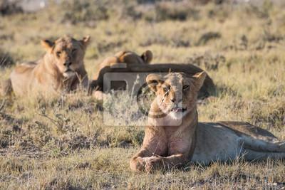 Lion-Gruppe in Etosha