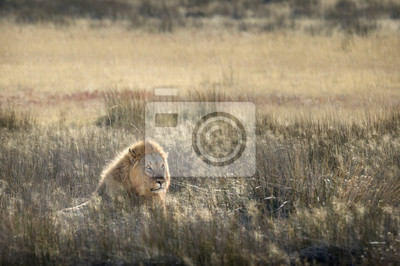 Lion in morning light