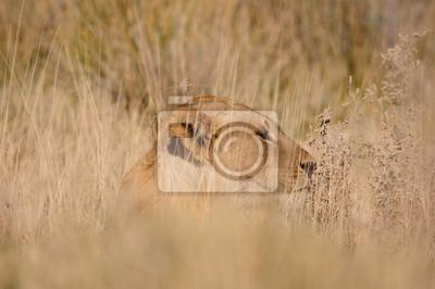 Lion, Panthera leo, in der Etosha National Park