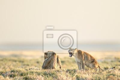 Lion yawning in the morning light in Etosha National Park, Namibia.