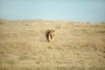 lioness in veld