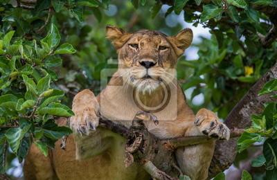 Lioness on a tree. Uganda.