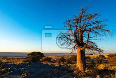 Lone baobab tree in early morning light