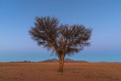 Lone camel thorn in the desert