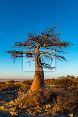 Lone young baobab tree on Kubu Island